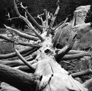 Giant Redwood Carcass
